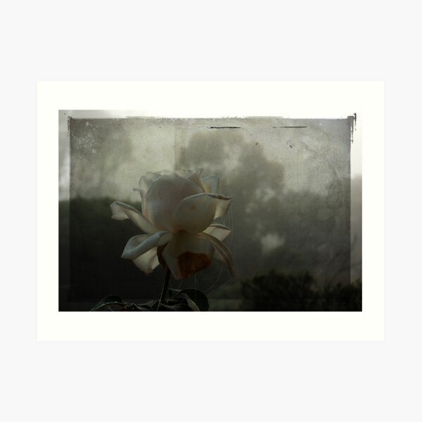 The White Rose In Fog Art Print