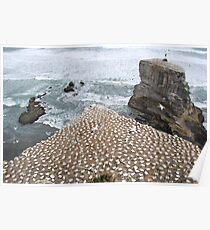 Gannets nesting, Muriwai Beach, NZ Poster
