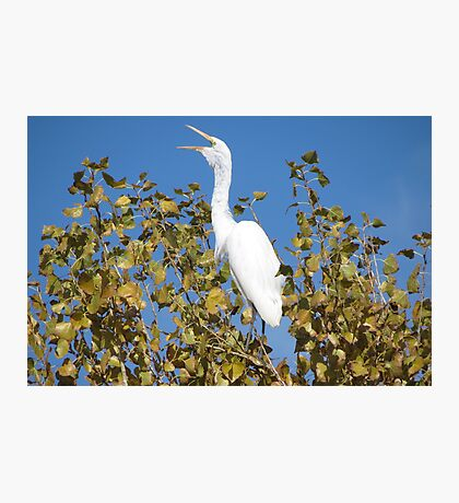 Great White Egret ~ ♪ I'm Sexy and I know it ♫ Photographic Print