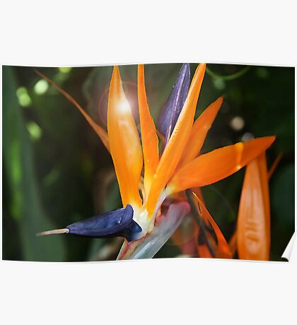 Passion In Paradise ~ Bird of Paradise Flower with Flare Poster