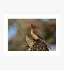 Red-billed Oxpecker Art Print