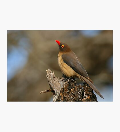 Red-billed Oxpecker Photographic Print