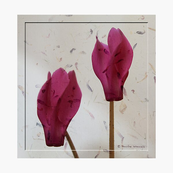 The beauty of cyclamen flowers Photographic Print