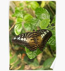 Butterfly - Clipper  Poster