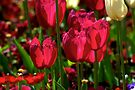 Red Tulips ~ the flowers of love by Extraordinary Light