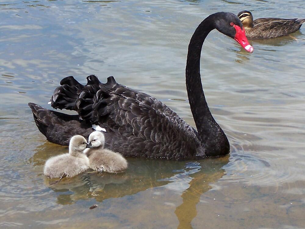 Ponder Bay Swans. by shortshooter-Al