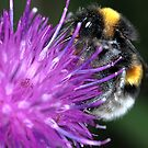 the bumblebee ... by jean-jean