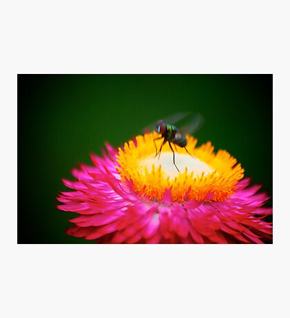 Hot Pink Flower with Fly Photographic Print