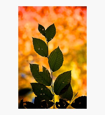 Leaf Silhouette Photographic Print