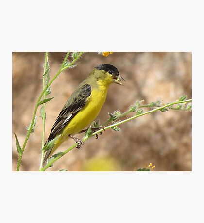 Lesser Goldfinch (Male) Photographic Print