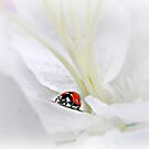 Little Ladybug in White Petals. by Morag Bates
