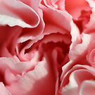 Pink Carnation by Kasia Nowak