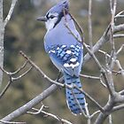 Beautiful Blue Jay by Tracy Wazny