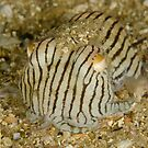 Striped Pyjama Squid - Sepioloidea lineolata by Andrew Trevor-Jones