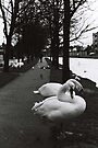 Swans at the canal by Esther  Moliné