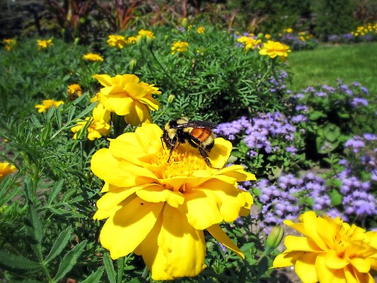 Close Up of a Bumble Bee Pollinating a Yellow Marigold Garden Plant ~ Insect Photography by Chantal PhotoPix