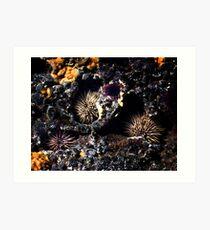 Sea Urchins Art Print