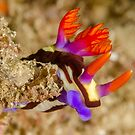 Nudibranch - Nembrotha purpureolineata by Andrew Trevor-Jones