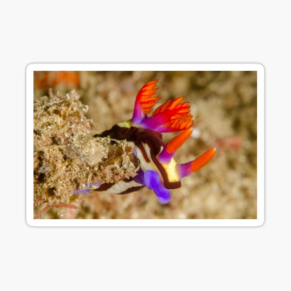 Nudibranch - Nembrotha purpureolineata Sticker