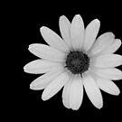 Petals on Black by Matt Hill