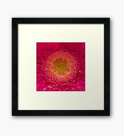 Pink Gerbera Macro Framed Print