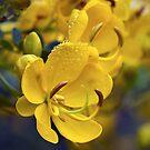 Cassia abbreviata by Ann  Palframan