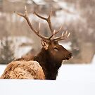Snow Elk 3 by jeff welton