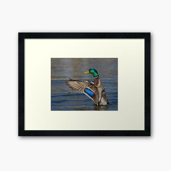 Mallard Conductor  Framed Art Print