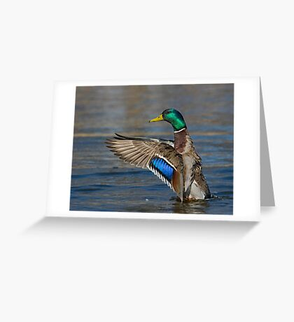 Mallard Conductor  Greeting Card