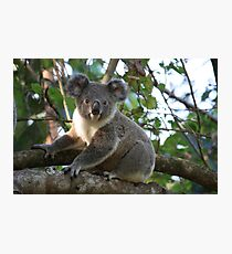Baby Koala In Our Tree Photographic Print