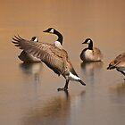 Wild Goose Waltz, Canada goose in Montana by Donna Ridgway