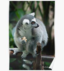 Leemur eating Poster