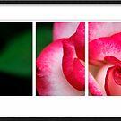 Rose by Kym Howard