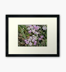 Wild Garlic, Prairie Onion - Easter Colors! Framed Print