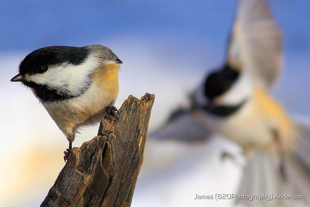 Chickadee Bump  by James Anderson