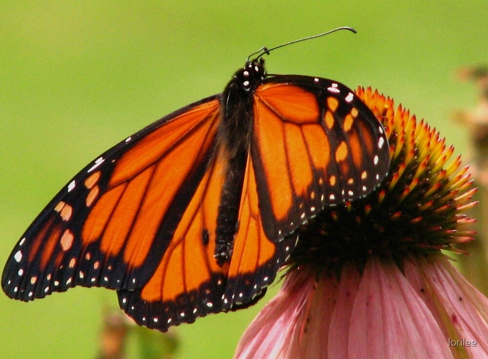 The Monarch Has Landed by lorilee
