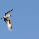 Juvenile Hawk! by vasu