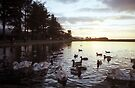 Cygnets at sunset by Michael Haslam