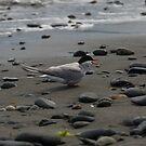 Arctic Tern, Homer Spit, Alaska by SusanAdey