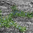 Virginia Bluebells On A Carpet Of White by Bine