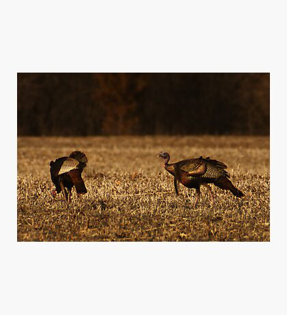 Turkeys in Golden Field Photographic Print