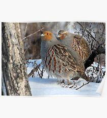 Habitat / Gray Partridge Poster