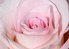 In the Pink - Last Rose of Summer by AnnDixon