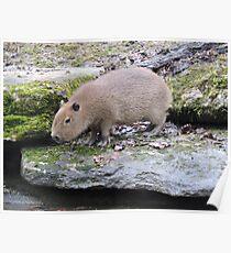 Baby Capybara Poster