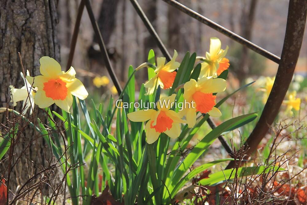 Country Daffodils by Carolyn Wright