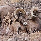 Bighorn Sheep 9 by jeff welton