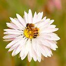 Busy Bee in a Daisy by Sandra Chung
