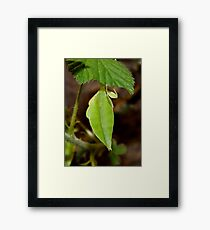 Leaf Lookalike Stick Insect Framed Print