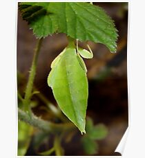 Leaf Lookalike Stick Insect Poster