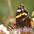 Butterfly by Willem Hoekstra